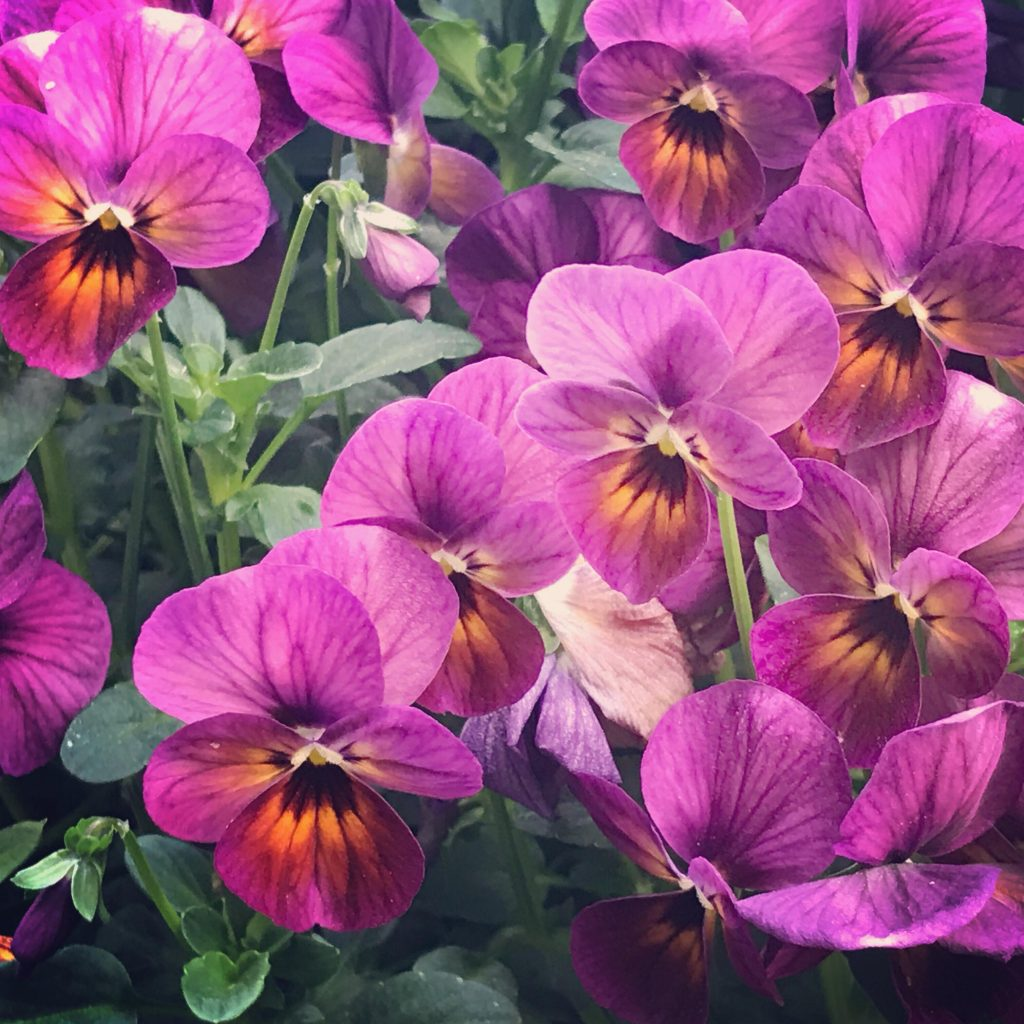 viola plum antique