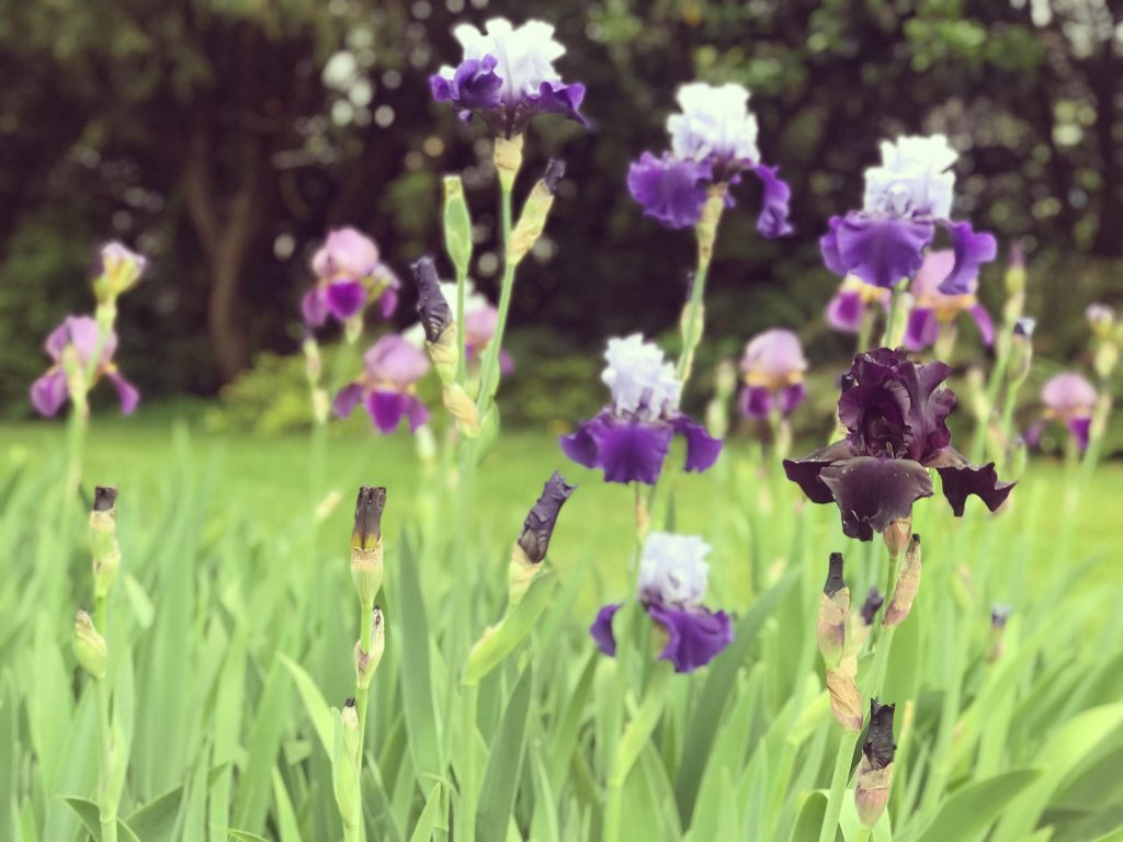 tall bearded iris superstition